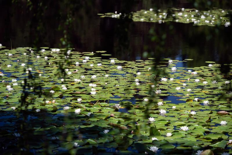 White water lilies on the dark water. White water lillies on the dark pond in the Cairngorms National Park, Scotland. The photo resembles the famous paintings of stock photos