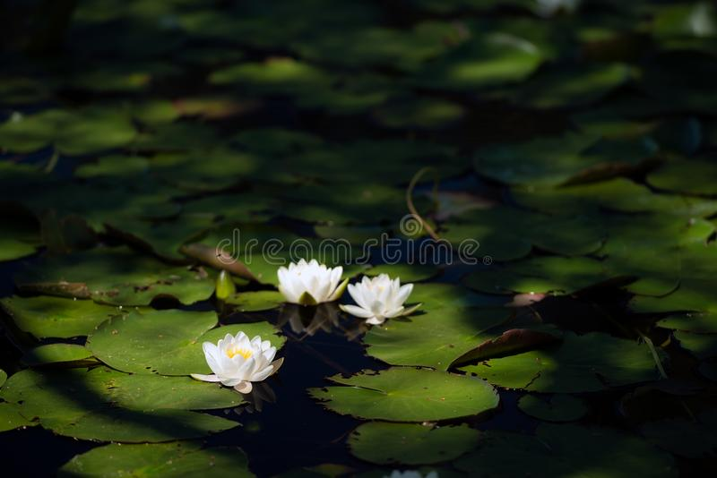 White water lilies on the dark water. White water lillies on the dark pond in the Cairngorms National Park, Scotland. The photo resembles the famous paintings of stock photo