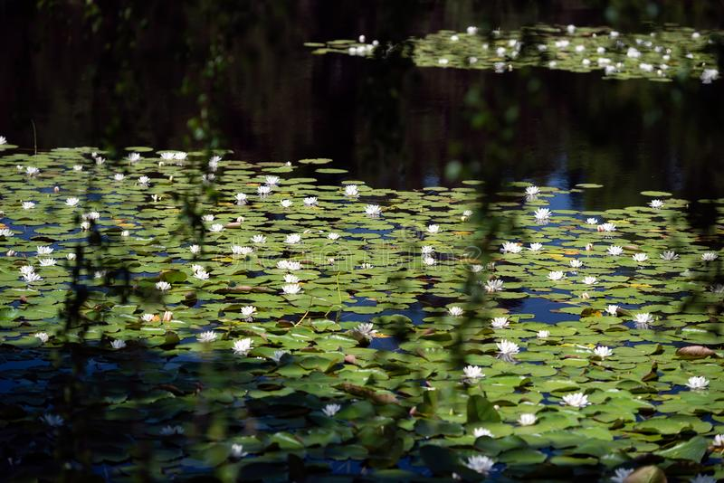 White water lilies on the dark water. White water lillies on the dark pond in the Cairngorms National Park, Scotland. The photo resembles the famous paintings of stock image