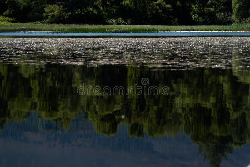 White water lilies on the dark water. White water lillies on the dark pond in the Cairngorms National Park, Scotland. The photo resembles the famous paintings of stock photography