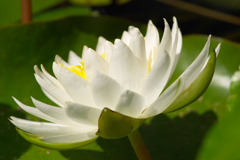 Download White Water Lilly stock photo. Image of nature, water, white - 4684