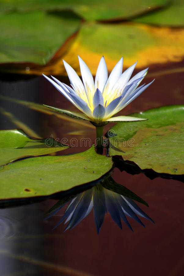 Download WHITE WATER-LILY stock photo. Image of flower, garden - 11972176