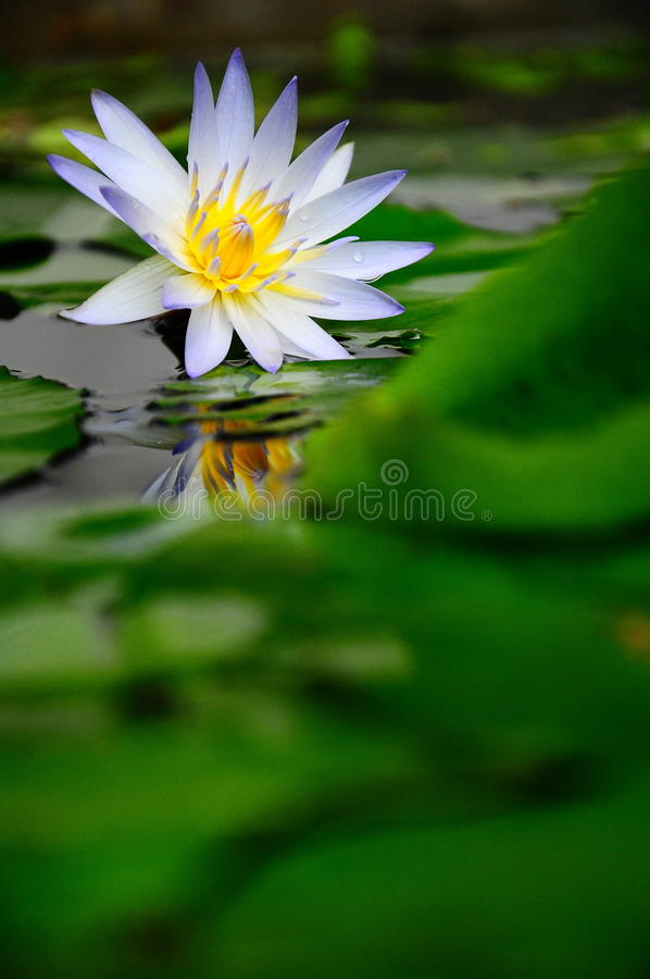 Download White water lily stock photo. Image of blooming, blossom - 21447132