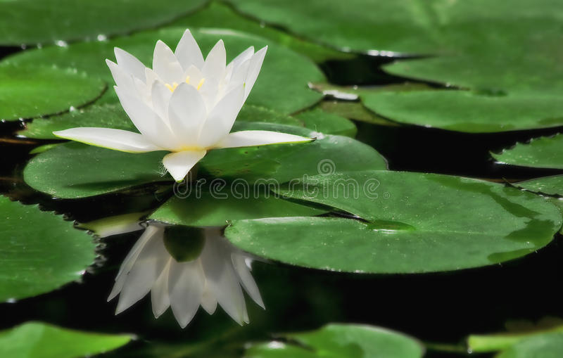 Download White Water Lily. Royalty Free Stock Photos - Image: 23656818