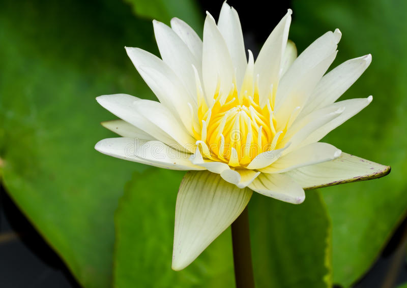 White Water Lily Stock Images