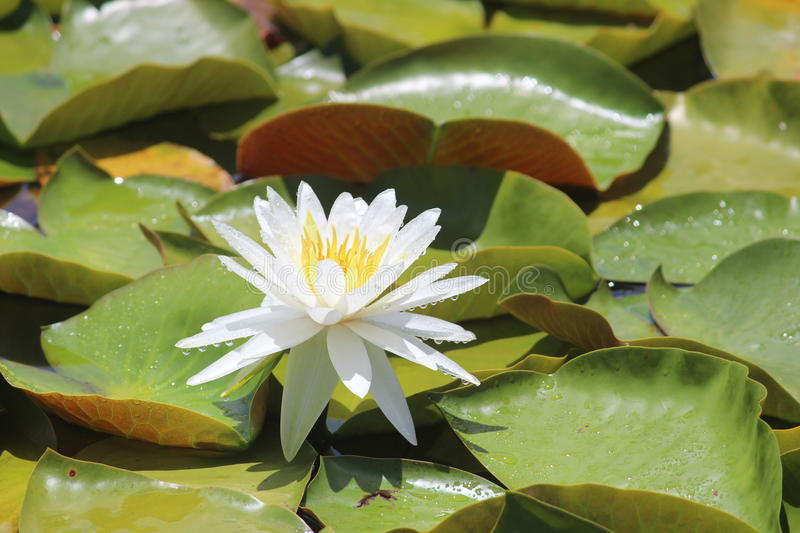 Download White water lily stock image. Image of botany, pond, petals - 28488809