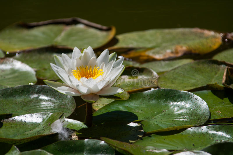Download White water lily stock image. Image of perfection, garden - 29205511
