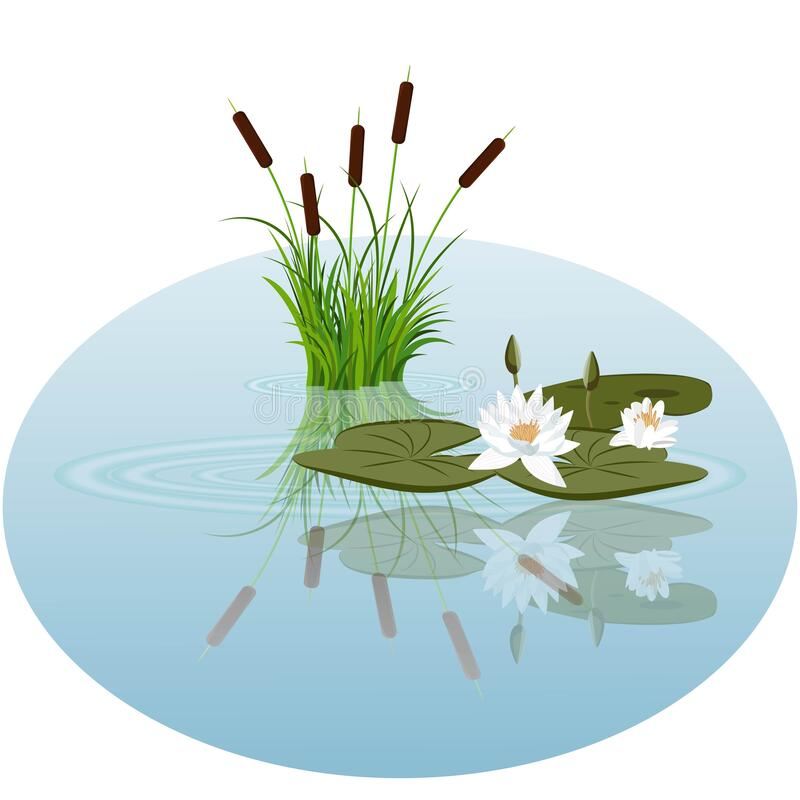 Free White Water Lily And Reeds In Water Vector Illustration Stock Images - 176294784