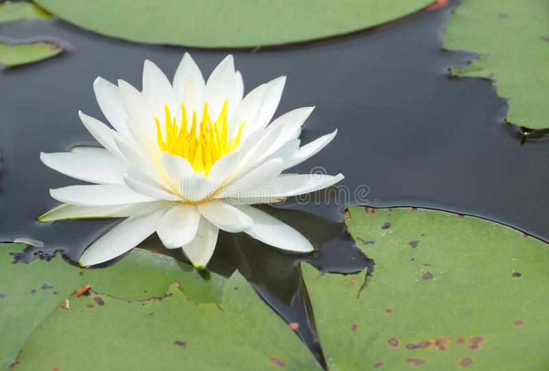 White water lily. Close up of white water lily flower blooming stock photography