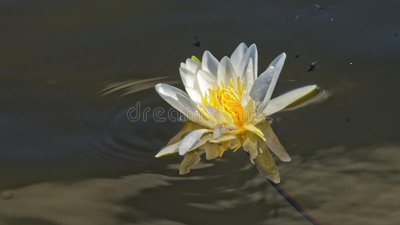 White water lily. A close up of a white water lily flower floating on the Danube surface at Danube delta stock image
