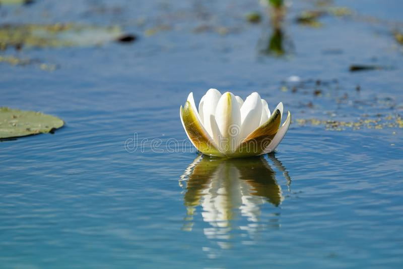 White Water Lily floating on blue water in Danube Delta. Nenuphar (Nymphaea alba). White Water Lily floating on blue water in Danube Delta. Nenuphar Nymphaea stock image