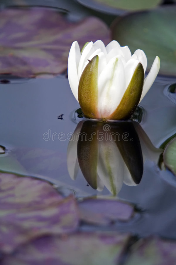 Download White Water Lily Flower stock photo. Image of mirrored - 5395252