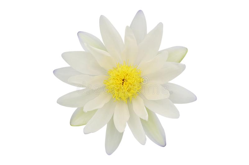 Water Lily Flower Isolated on White Background. White Water Lily Flower Isolated on White Background royalty free stock image