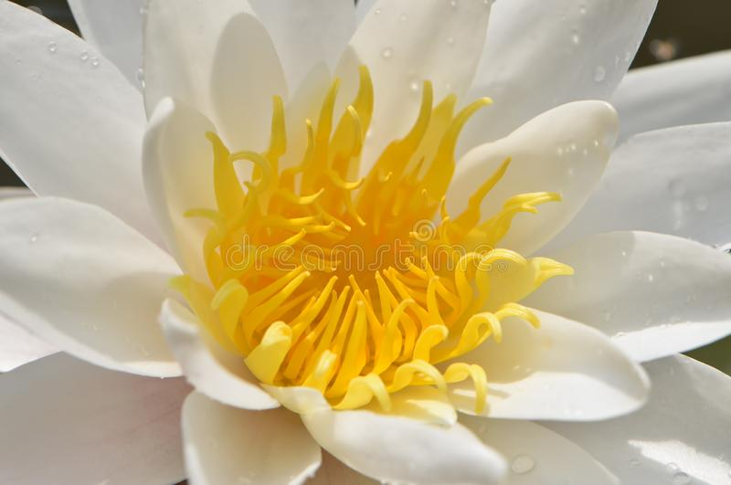 White water lily flower with yellow center stock photography