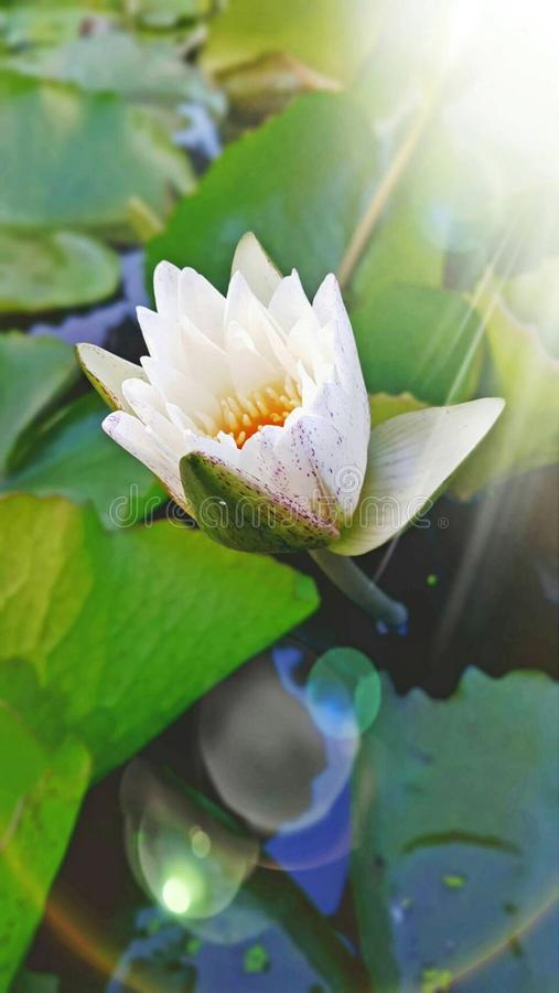 White water-lily stock images