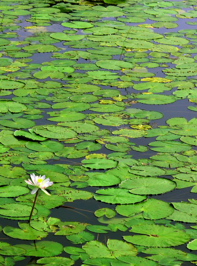 White water lily with leaves royalty free stock image