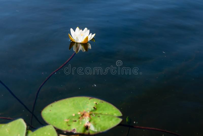 White water Lily with leaves on the water. White water Lily with leaves in the water of the lake stock images