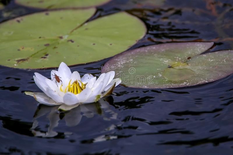 White water lily in water. White water lilies bloom in the river. Water lily flower with green leaves in the water. White water lily in river, Latvia stock photography