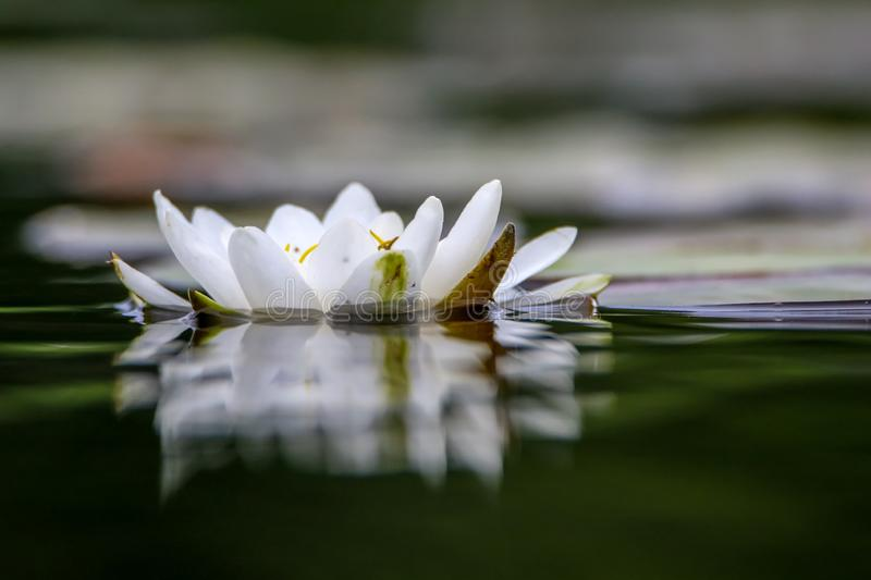 White water lily in water. White water lilies bloom in the river, Latvia. Water lily flower with green leaves in the water. White water lily in river as stock images