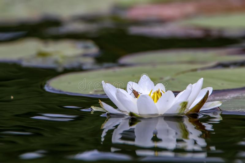 White water lily in water. White water lilies bloom in the river, Latvia. Water lily flower with green leaves in the water. White water lily in river as stock image