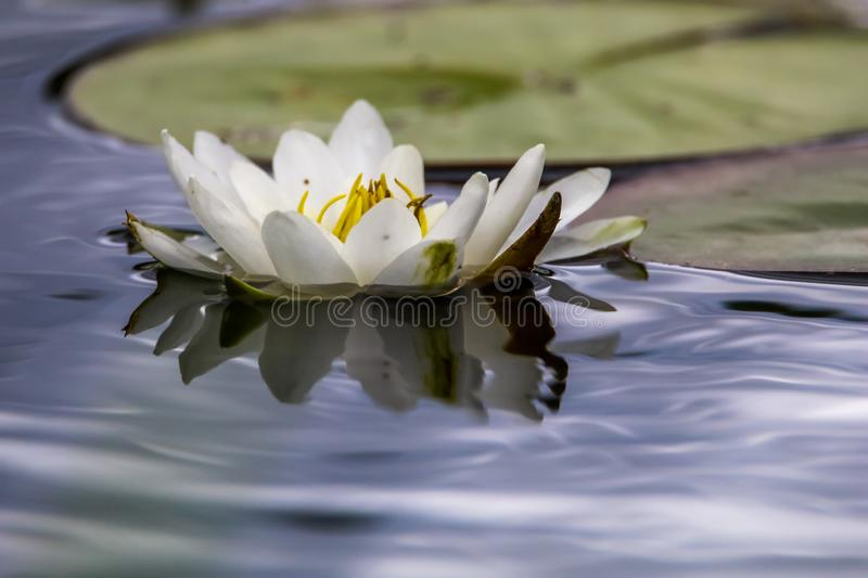 White water lily in water. White water lilies bloom in the river, Latvia. Water lily flower with green leaves in the water. White water lily in river as stock photography