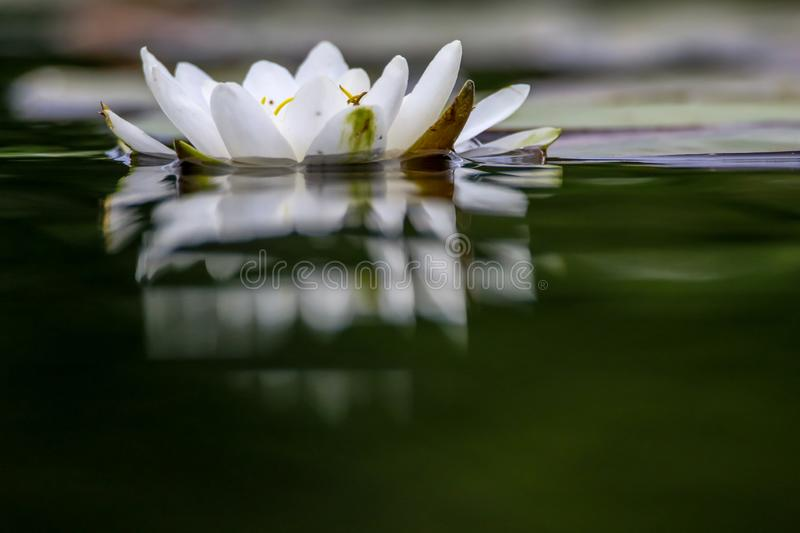 White water lily in water. White water lilies bloom in the river, Latvia. Water lily flower with green leaves in the water. White water lily in river as royalty free stock photography
