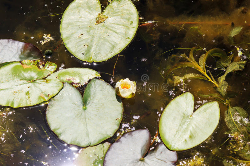 White water Lily. White water lilies in a pond in summer royalty free stock images