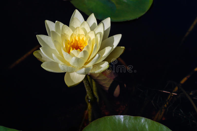 White Water Lily in Morning Light. Lily pads and water lilies in the fish pond with early morning light stock photos
