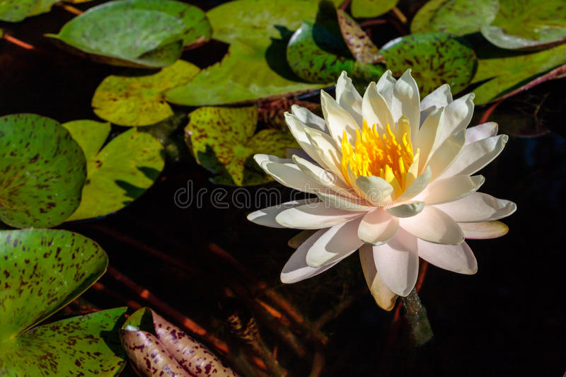 White Water Lily in Morning Light. Lily pads and water lilies in the fish pond with early morning light royalty free stock image