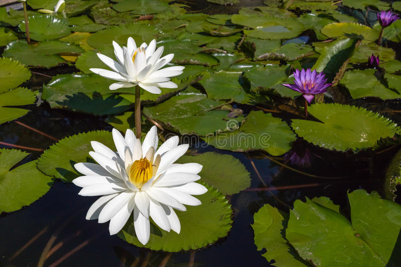 White Water Lily in Morning Light. Lily pads and water lilies in the fish pond with early morning light stock photo