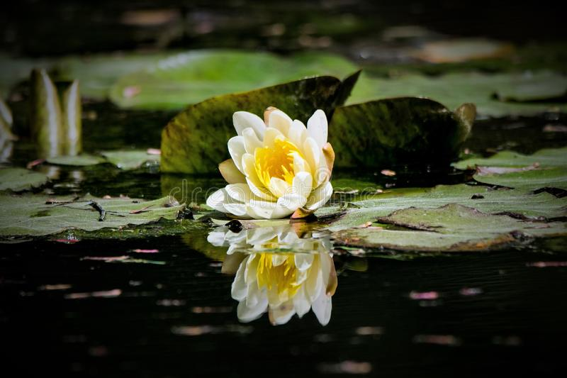 White Water Lily Reflection at Gibbs Gardens royalty free stock image