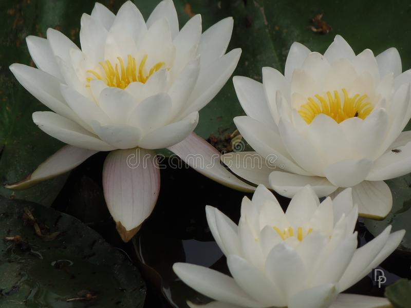 White water lily. Three white water lilies on a water royalty free stock photography