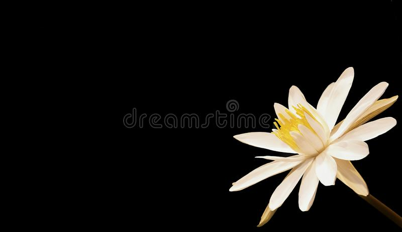 White water lily with yellow center on a contrasting black background stock photo