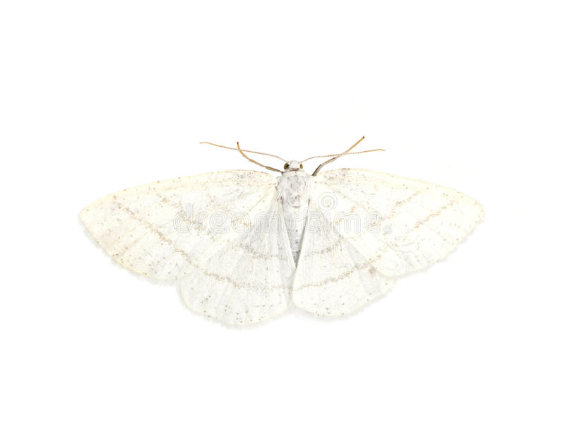 White Wave moth royalty free stock photo