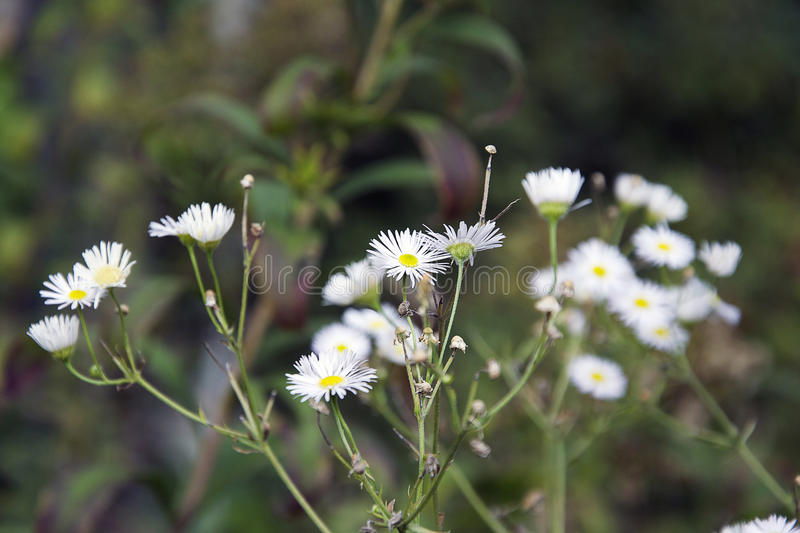White weeds stock image. Image of more, berrys, market - 78622939