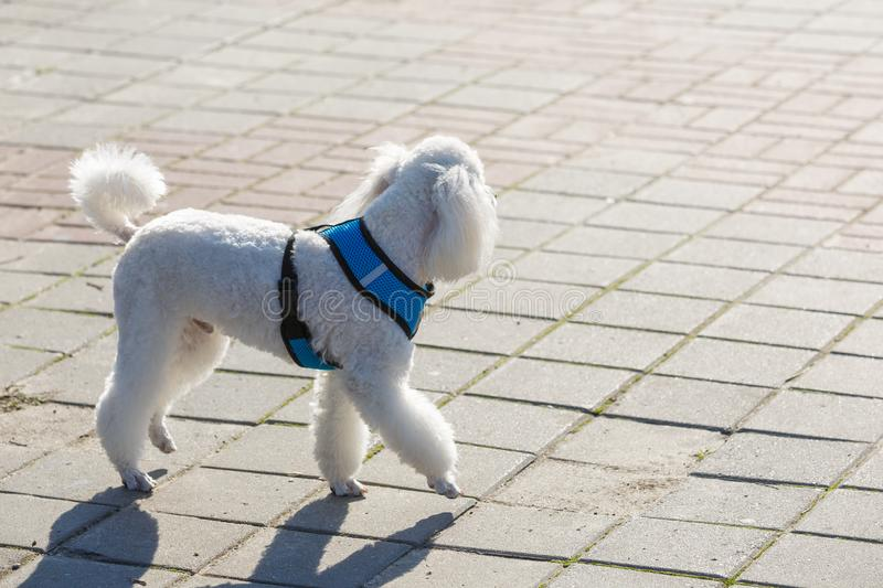 The white well-groomed poodle in a breast-band walks along the sidewalk on a sunny summer day stock image