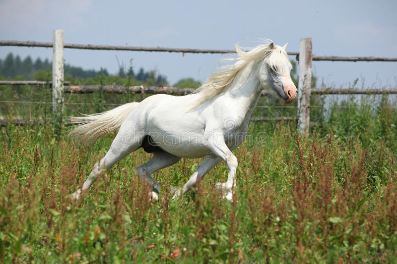 Download White Welsh Mountain Pony Stallion Running Stock Photo - Image: 32441156
