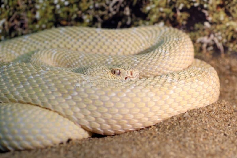 White western diamondback rattlesnake royalty free stock photography