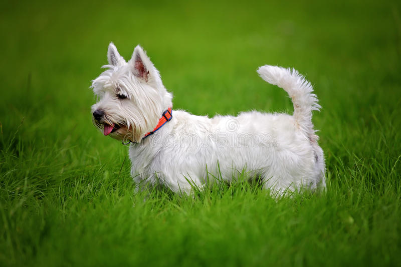 White Westie dog. West Highland White Terrier, commonly known as the Westie dog royalty free stock photography