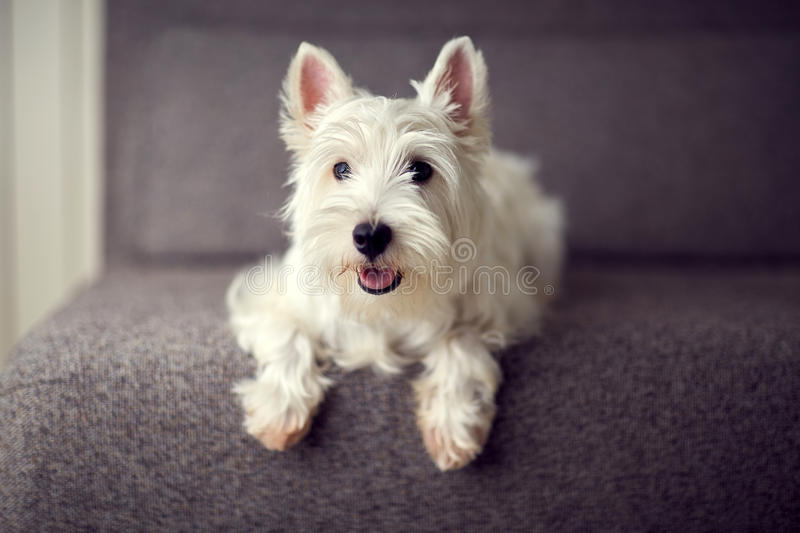 White westie puppy. A white westie puppy seating on a grey coach stock images