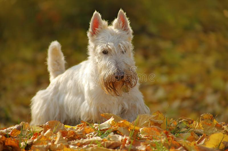 White wheaten Scottish terrier, sitting on gravel road with orange leaves during autumn, yellow tree forest in background. Dog in stock photography