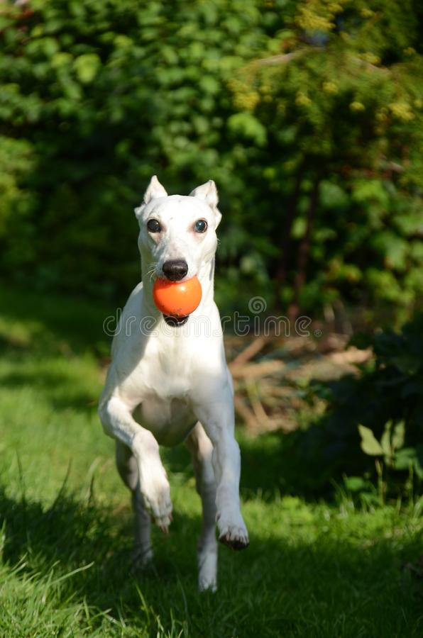 White whippet dog comes running with an orange ball in his mouth stock photography