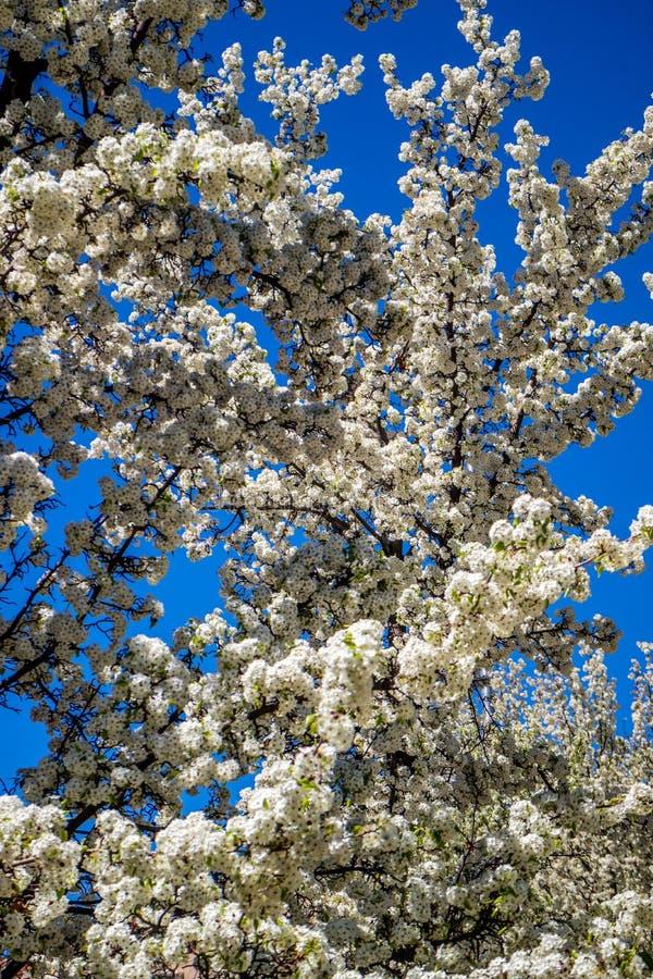 White White Cherry Blossom in Santa Fe, New Mexico. A blooming portrait shot of a Cherry Blossom in Santa Fe, New Mexico stock photos