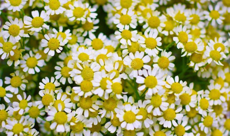 White wild chamomile tanacetum parthenium feverfew floral background. White wild chamomile, tanacetum parthenium feverfew stock image