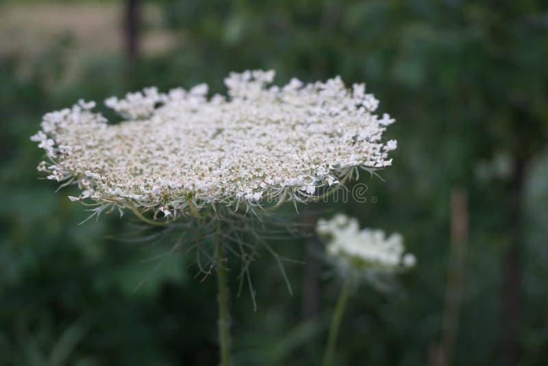 White wild flower up close in illinios. White wild flower up close royalty free stock photography