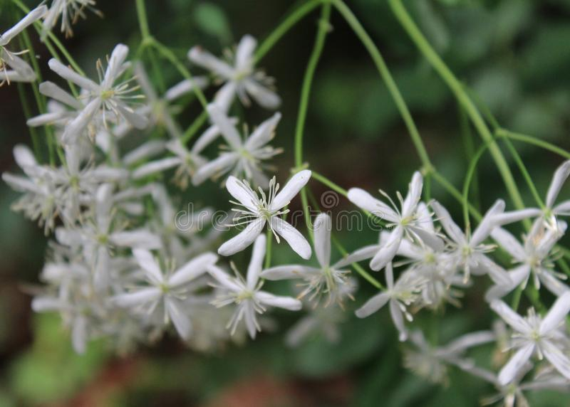 A white wild flower royalty free stock photography