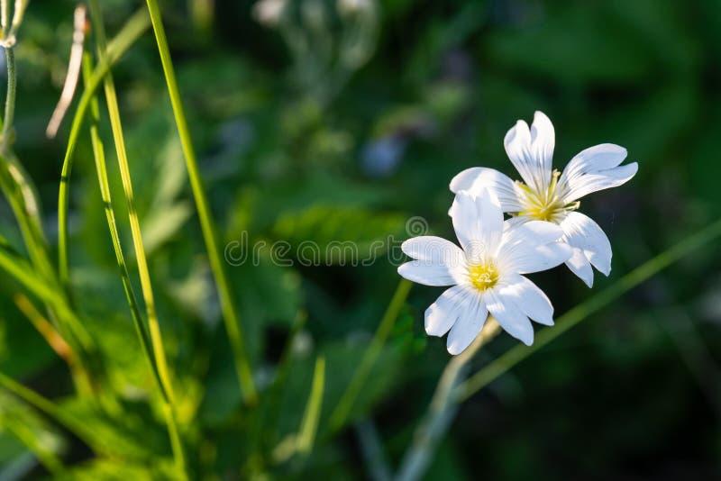 White Flowers in Evening Light. White wild flowers in golden evening light royalty free stock images