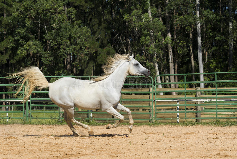 White wild Horse. Adult white arabian horse running royalty free stock photography