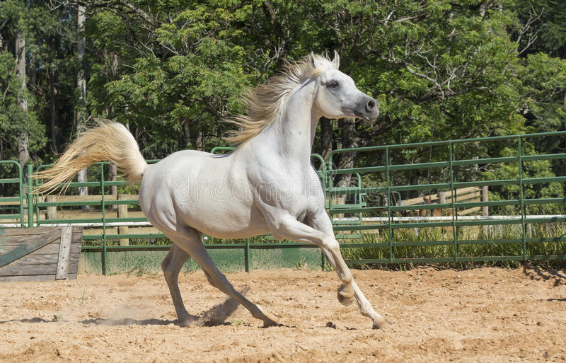 White wild Horse. Adult white arabian horse running stock photo