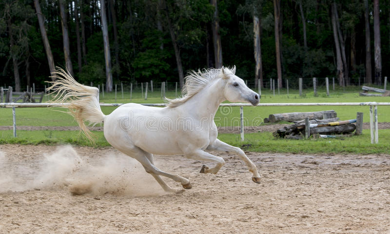 White wild Horse. Adult white arabian horse running stock photos